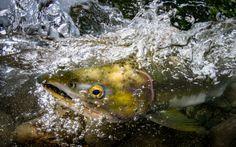 2015 Salmon Top Ten - Eiko Jones Photography and Video Top Ten, Underwater, Salmon, Pets, Photography, Animals, Photograph, Animales, Animaux