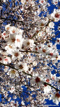 Cielo azul y el blanco de la flor del almendro, #Sorvilán un mundo de colores. Sierra La #Contraviesa, #Alpujarra & #CostaTropical. #Montañayplaya.