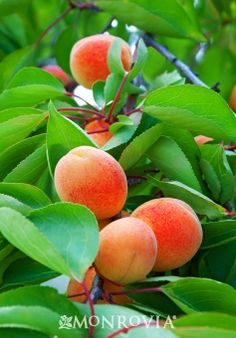 Apricots a sweet juicy fruit that helps to improve color in skin and leaves it with a glow. :)