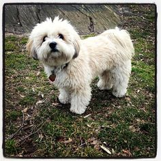 Charlie, the Havanese, in Central Park New York City