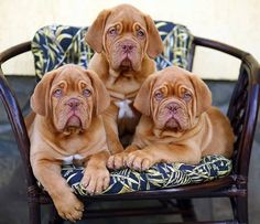 Such a cute puppy Relaxing Free Fun And Unique Dog Training E-book Featuring 21 Brain Games To Increase A Dogs Intelligence . Mastiff Breeds, Mastiff Dogs, Dog Breeds, Doberman Dogs, Baby Puppies, Cute Puppies, Dogs And Puppies, Chihuahua Puppies, French Mastiff Puppies