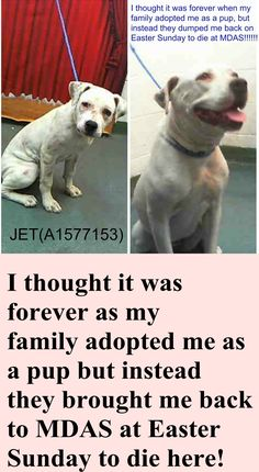 SAFE --- JET (A1577153) I am a neutered male white American Bulldog. The shelter staff think I am about 1 year and 9 months old and I weigh 51 pounds. I was found as a stray and I may be available for adoption on 04/11/2015. Miami Dade https://www.facebook.com/urgentdogsofmiami/photos/pb.191859757515102.-2207520000.1428398709./957455717622165/?type=3&theater