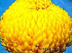 Druhy a odrody chryzantémov, klasifikácia záhradníkov > Produkcia plodín > Mad Poľnohospodár Chrysanthemum, Pumpkin, Vegetables, Food, Pumpkins, Essen, Vegetable Recipes, Meals, Squash