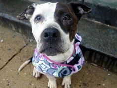 Jazmine-Death Row Dog- Somebody save her. Described by shelter employees as an angel. Manhattan Centet-2nd Chance Rescue League.
