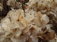 Papery hydrangea flowers in winter. #photoaday day009