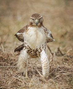 Red tailed hawk posing like a cowboy