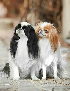 Teacup Puppies, Cute Puppies, Dogs And Puppies, Animals And Pets, Cute Animals, Photo Pattern, Japanese Chin, Lhasa Apso, Pekingese
