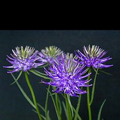 Phyteuma scheuchzeri -- love those spiky crazy flowers.