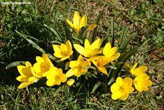 Herbst-#Goldbecher #Sternbergia lutea http://www.florilegium.de/blog/pflanzen/blumen-im-garten/herbst-goldbecher-sternbergia-lutea.html