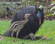 Here's a better pic: The Southern Cassowary....a model father |Save The Cassowary