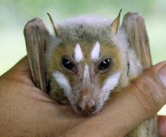 Stripe-faced fruit bat from the Phillipines.