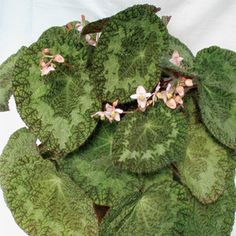 Begonia sizemoreae Begonia species. Partial shade. Allow to go slightly dry between waterings.