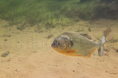 This is a freshwater underwater photograph of an old wild Black Spot Piranha, Pygocentrus cariba, in its natural habitat, Apure, Venezuela.