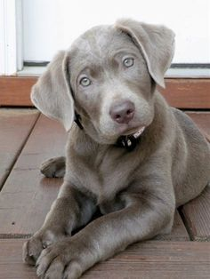 Silver Lab!! We got a one for Christmas..he is so cute and we love him to death. looks like this lil guy!