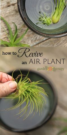 How to water and revive a sick air plant. If your air plant is looking dull, a bit brown, maybe limp, it could mean that it is very thirsty! To revive a sick air plant that has been a tad neglected… Cacti And Succulents, Planting Succulents, Garden Plants, Planting Flowers, Cactus Plants, Flower Gardening, Flower Plants, Moss Garden, Cactus Art