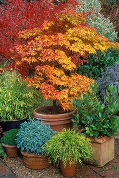 Japanese Maple, Container, Terra Cotta Garden Design Calimesa, CA #autumnflowergarden #japanesegardening