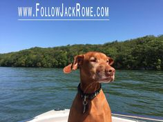 These warms days have our Vizsla, Jack wishing I was back on the boat with hisfamily. #Wishful #Vizsla #WaterPup  Follow Jack on Facebook Here: https://www.facebook.com/LikeJackRome/