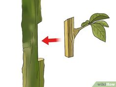 How to Graft a Tree. If you like a tree's fruit and want more of it, your best option may be grafting. There are various ways to graft, but with practice and these. Grafting Fruit Trees, Grafting Plants, Organic Gardening, Gardening Tips, Plantas Bonsai, Permaculture Design, Peach Trees, Tree Care, Growing Tree