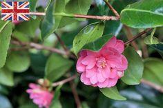 British Camellia