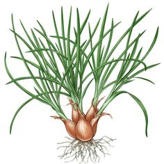 All About Growing Shallots - Organic Gardening - MOTHER EARTH NEWS