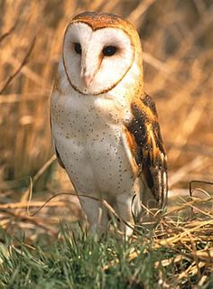 Barn Owls will use nest boxes. They could have a hunting style cabin or a farm/country house