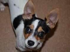 RICHY is an adoptable Toy Fox Terrier Dog in Martinez, CA.  ...