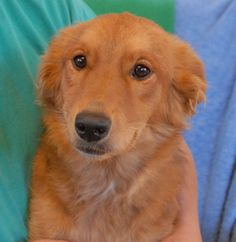 Luna Star is a tremendous cuddler & snuggler!  She is an exceptionally loving girl, medium-size Golden Retriever mix, 1 year young, now spayed and debuting for adoption today at Nevada SPCA (www.nevadaspca.org).  Luna Star needs a home environment where she is showered with tons of affection.  She is good with dogs, cats, and children, plus reportedly housetrained and crate-trained.  Luna Star needed us when her previous owners lost the family home to foreclosure.
