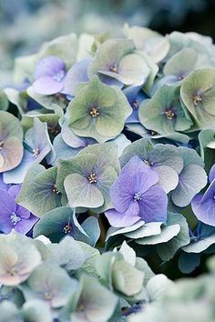 Hydrangea blue, pink, green, white & any variation in between. Hortensia Hydrangea, Hydrangea Macrophylla, Hydrangea Flower, My Flower, Hydrangeas, Deco Floral, Garden Inspiration, Planting Flowers, Flower Arrangements