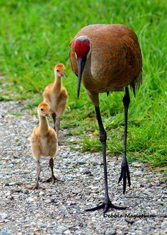 Sandhill Crane & its babies