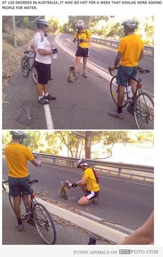 Koala at 120 degrees in Australia asking people for water. Cyclist giving water to thirsty koala.