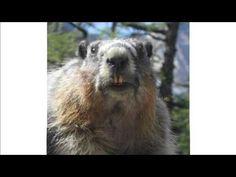Chanson - Pokémon - Version Marmotte Chiante Bonne ou Mauvaise ?  #maitrefun #marmotte #chiante #marmottechiante #vulgaire #humour #drole #comique #pokemon Horses, Voici, Animals, Fictional Characters, Retirement, Wish, Pokemon Song, Spring, Animais