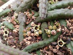 Ophionella arcuata var. arcuata.