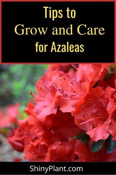 Guide to grow beautiful Azaleas flower. Learn how to plant, grow and care for Azaleas flower. Azaleas flower are hard to handle, here are some growing tips to grow azaleas flower in your home #Azaleas #flowers Flower Gardening, Gardening Tips, Planting Flowers, Backyard Patio, Backyard Landscaping, Patio Ideas, Landscaping Ideas, Budget Flowers, New Roots