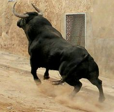 """""""Keep his cane clear of the horse's legs: tired drudge get his doze. Behind a bull: in front of a horse. Farm Animals, Animals And Pets, Cute Animals, Beautiful Creatures, Animals Beautiful, Bull Pictures, Bull Painting, Bull Cow, Photo Animaliere"""