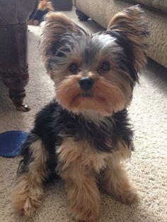 Yorkie puppy by broukk.woelffer