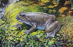 Southern gastric brooding frog, by Peter Schouten.  Last seen in 1985 in Australia, this was one of two such frogs found to raise its young in its stomach. Females swallow the eggs, and alter the chemistry of their stomachs so that tadpoles can develop in the absence of acidic digestive juices. Then they give birth through their mouths.  There is a current effort to resurrect this potentially-extinct species.