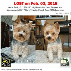 Have you seen this lost dog?  #LOSTDOG #Morty #AvonPark (Stryker & Morningside Rd) #FL 33825 #Highlands Co.  #Dog 02-03-2018! Male #Yorkshire Terrier Yorkie Grey / Brown / Black/  Before & After grooming photo  CONTACT Bapt2007@aol.com  More Info Photos and to Contact: http://ift.tt/2E15MdC  To see this pets location on the HelpingLostPets Map: http://ift.tt/2EF4DJP  Let's get Morty home! #lostdogsflorida #HelpingLostPets