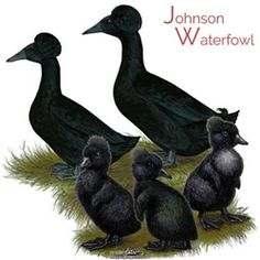 Really just crested Cayugas. The crested gene can appear in any duck breed. I have crested Swedish. Hatching Chickens, Pet Chickens, Raising Chickens, Chickens Backyard, Rabbits, Baby Ducks For Sale, Chicks For Sale, Duck Breeds, Chicken Incubator