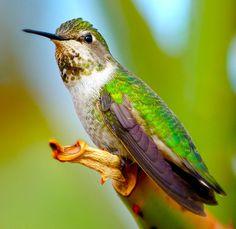 Hummingbird Portrait 3 by Danny Perez Photography, via Flickr