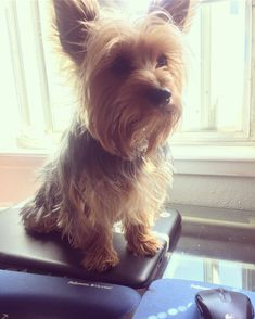 I won't let my mom work🐶I'm taking over her office now 😉🐾 Yorkie Dogs, Yorkies, Silky Terrier, I Win, Love People, Yorkshire Terrier, Dog Love, Cute Puppies, Fur Babies