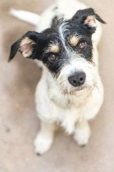 Jack Russell Terrier and Terrier mixed Dog for Adoption in Redwood City, California - Pickles in Redwood City, California Pit Terrier Mix, Terrier Mix Breeds, Chihuahua Terrier Mix, Terrier Rescue, Pitbull Terrier, Wheaten Terrier, Terriers, Jack Russell Puppies, Jack Russell Mix