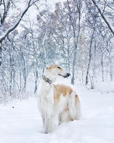 Beautiful Borzoi looking fab in the blizzard!