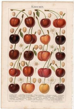 1889 cherry original antique botanical fruit print cherries
