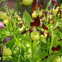 Cypripedium calceolus - Sabot de Vénus - Phytesia par Cras-Avernas Trading Co SPRL