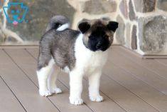 This Gorgeous Akita is ready to meet his new best pal. He is as social as can be sure to greet everyone who comes his way. This amazing pup will jump into Puppies For Sale Australia, Akita Puppies For Sale, Cute Puppies For Sale, Best Pal, Puppy Breeds, Banjo, Puppys, Corgi, Cute Animals
