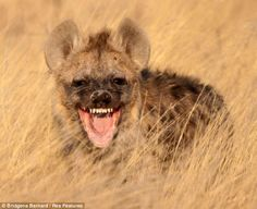 """Africa ~ 'Laughing' Hyena"" -  photographed in South Africa's Kgalagadi Transfrontier Park © Bridgena Barnard"