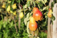 Die Obst-Alchemisten › BlogTirol Pear, Apple, Harvest, Fruit, Apple Fruit, Apples, Bulb