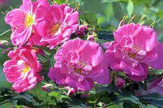 Winter hardy Climbing & rambling roses