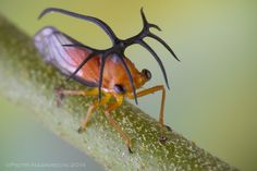 What possible function can these massive horns play in this Costa Rican treehopper Umbelligerus sp.?