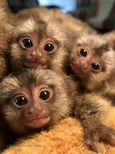 Exotic Animals For Sale Baby Animals Pictures, Funny Animal Photos, Cute Animal Pictures, Baby Animals Super Cute, Cute Little Animals, Cute Funny Animals, Marmoset Monkey, Pygmy Marmoset, Cute Baby Monkey
